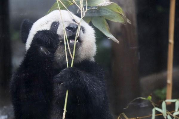 旅日大熊猫香香将满两岁 津津有味啃竹子超萌