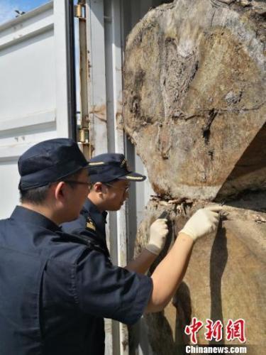 榕城海关截获福建口岸首例进境有害生物栎三锥象
