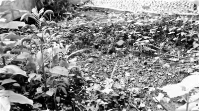 被拔光的艾草园地