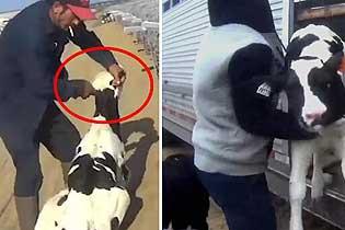美农场工人残忍虐待唯唯新生牛犊 强迫其进食