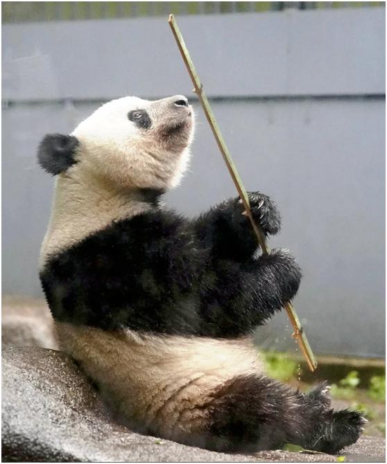 """旅日大熊猫""""香香""""满两岁 归期将延迟至2020年_德国新闻_德国中文网"""