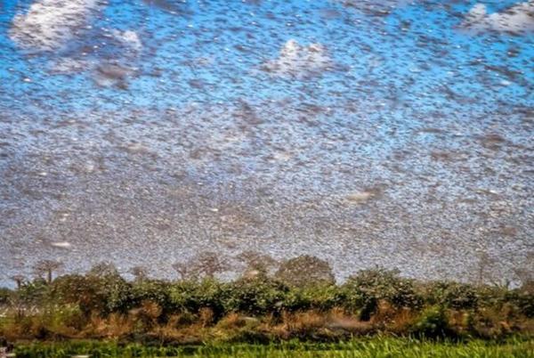 意大利遭70年来最严重蝗灾 2500公顷农作物被毁