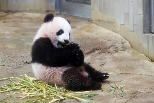 """旅日大熊猫""""香香""""两岁啦 回顾小萌神的成长之路"""