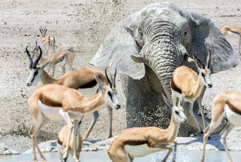 """纳米比亚大象洗防晒泥浴变""""白色幽灵"""" 吓坏羚羊群"""