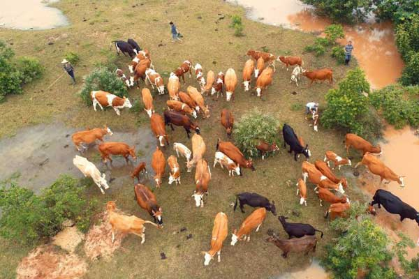 赣江江西泰和段水位暴涨超警戒 牛群被洪水围困