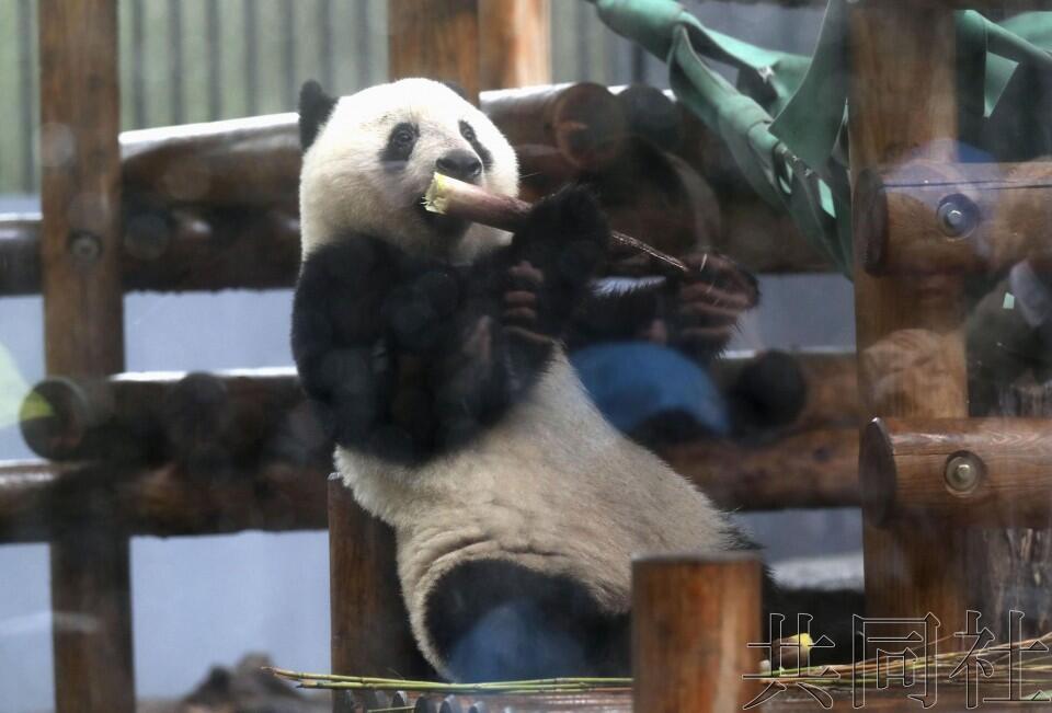 """日本东京上野动物园公开视频,纪念大熊猫""""香香""""2岁生日"""