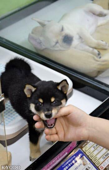 日本新《动物爱护法》成立,将给猫狗植入芯片严防虐待动物