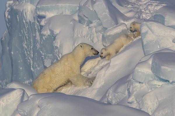 加拿大北极熊妈妈带娃走冰崖 耐心鼓励太有爱了!