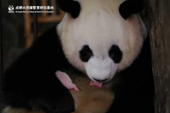 全球最小熊猫幼崽平安出生 重量不足一颗鸡蛋(图)