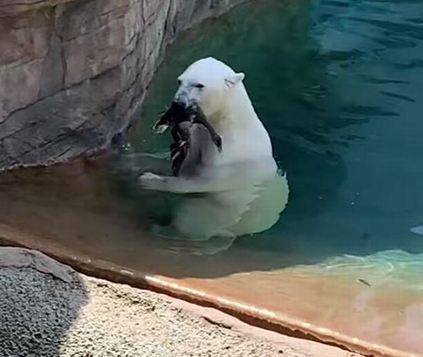 美动物园内一北极熊吃掉落在围场鸭子惊呆游客