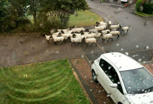 英国一庄园遭羊群闯入啃食草坪 屋主报警求助
