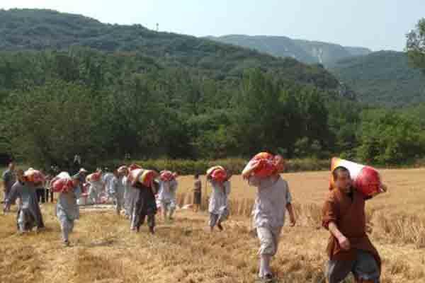 少林寺小麦丰收 众僧挥镰割麦