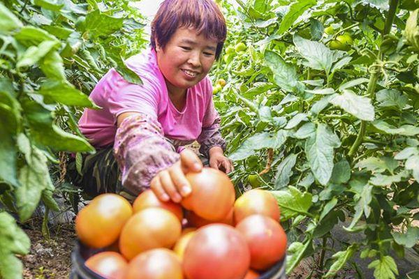 河北永清:瓜菜村里瓜菜香
