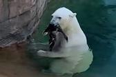 北极熊吃掉落在围场内鸭子惊呆游客