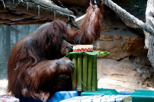法动物园明星猩猩庆祝50岁生日 津津有味吃蛋糕
