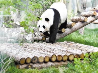 """国宝首次""""定居""""青藏高原 国内最大单体熊猫馆16日开馆"""