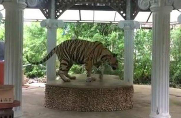 泰国动物园将老虎拴在圆台上供游客拍照遭抗议