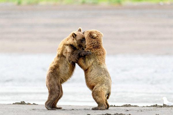 """相爱相杀""""好熊友""""!阿拉斯加小熊打完架立刻抱抱和好"""