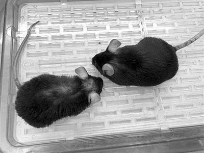 """""""返老还童""""酶让老鼠重返青春"""