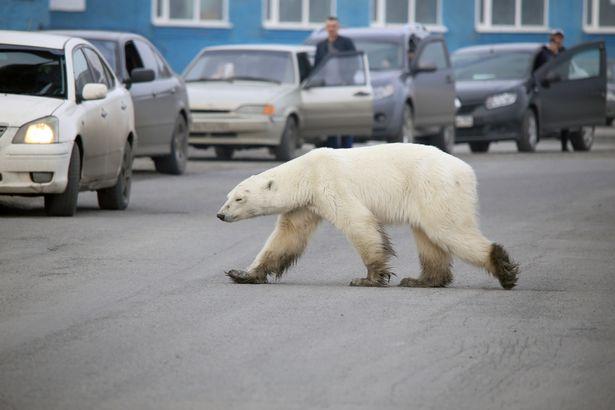 俄罗斯一市区现瘦弱北极熊 为觅食跋涉1500公里
