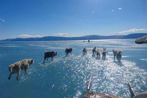 格陵兰岛单日融冰20亿吨 雪橇犬冰水中行走