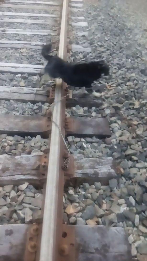 智利火车司机紧急刹车 救助被绑铁轨上小狗