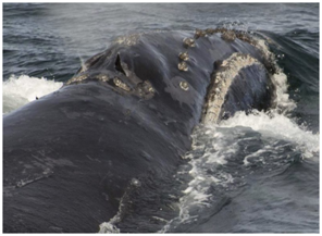 """科学家首次录下露脊鲸的""""歌声"""",其为地球上最稀有鲸种之一"""