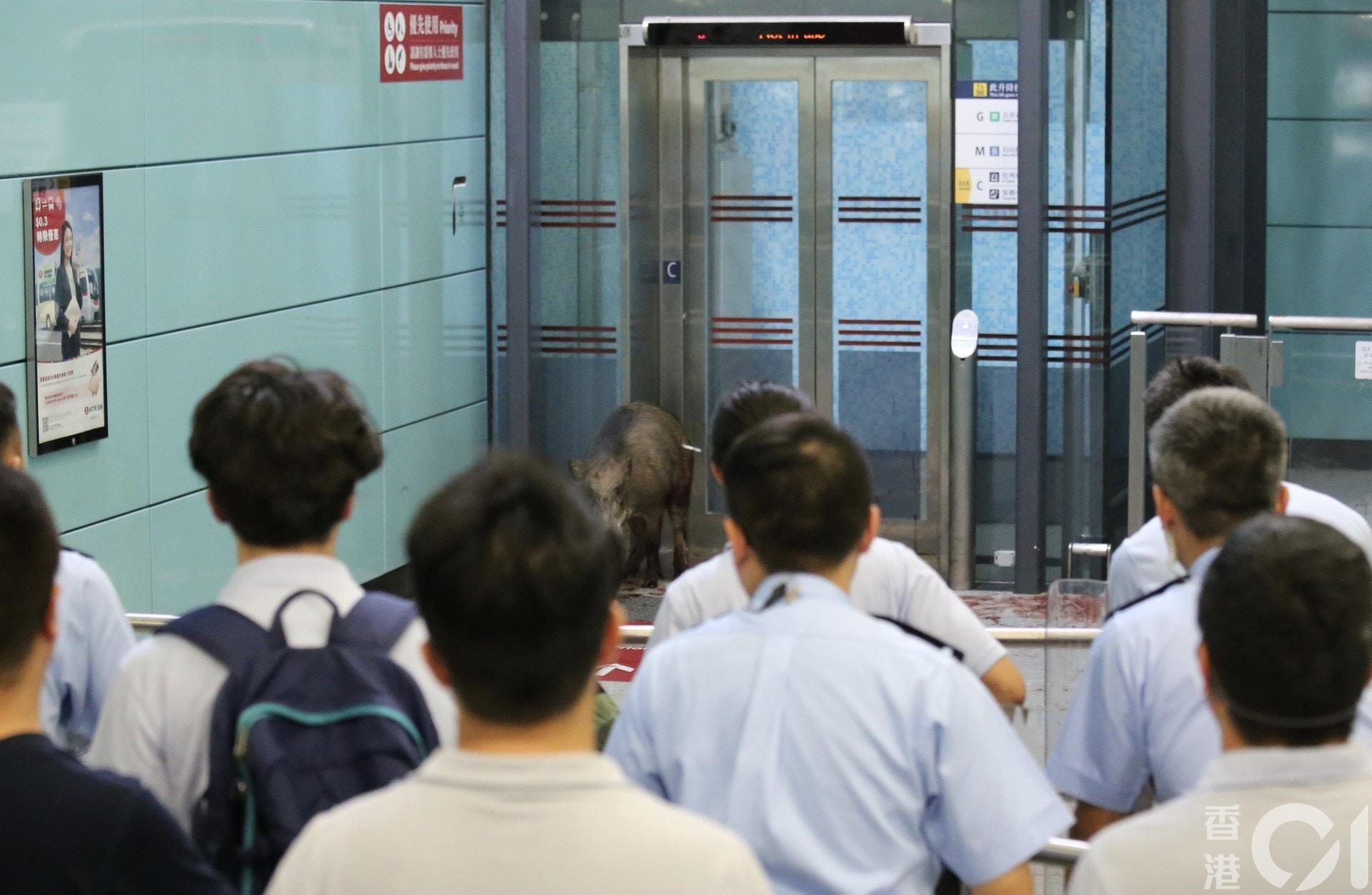 猪年特别乘客?野猪闯香港地铁站横冲直撞,20多人围追堵截