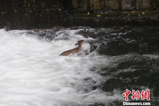 警员跳入湍流救护国家三有保护动物黄麂
