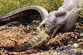 瞠目结舌!澳橄榄蟒将巨大淡水鳄整个吞食