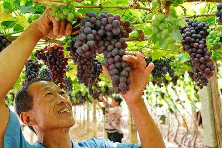 葡萄栽植盘活山村经济