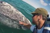 超可爱!野生鲸鱼宝宝求人类摸摸