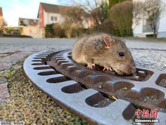 港媒:港府检视灭鼠工作 7月初将在3街市密集式灭鼠
