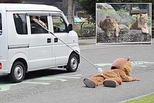 """日本动物园为防狮子出逃 自导自演""""杀狮儆狮"""""""