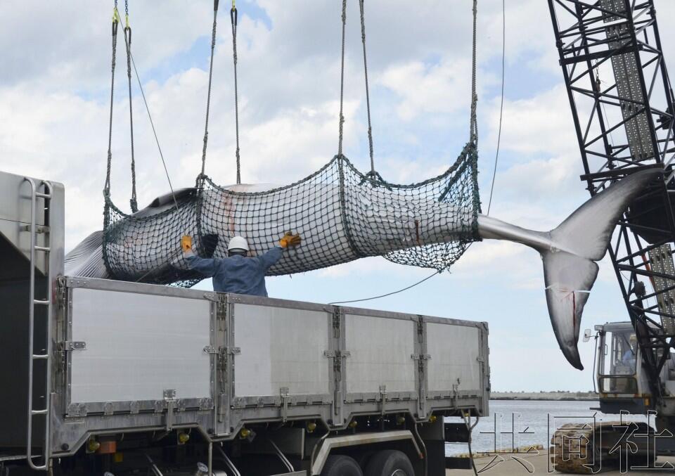 """日本32年所谓""""科研捕鲸""""汗青落幕,7月将重启贸易捕鲸"""