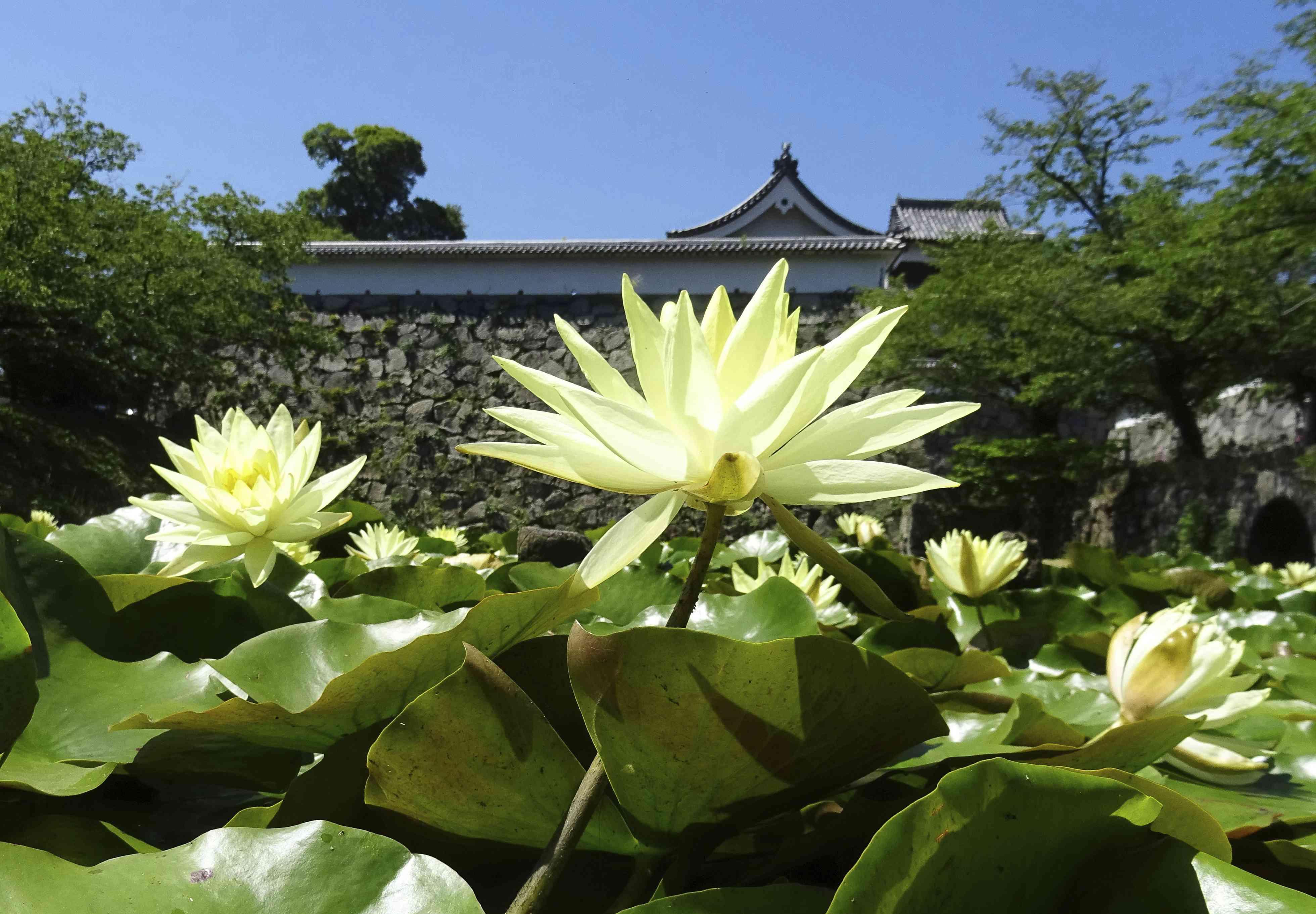 美美哒!夏日来临,日本福冈舞鹤公园内的睡莲尽情绽放