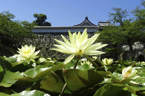 日本福冈舞鹤公园内的睡莲尽情绽放