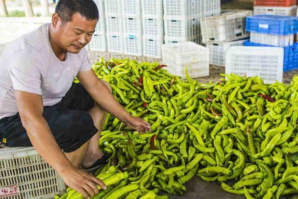 河北枣强:绿色有机蔬菜供应京津市场