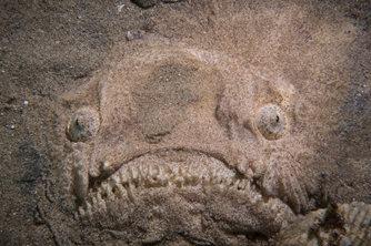 """实拍深海""""心机鬼""""瞻星鱼 令人毛骨悚然"""