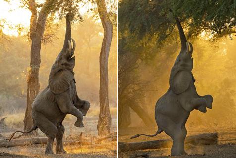 为了觅食也是拼了!大象直立以获取树上食物