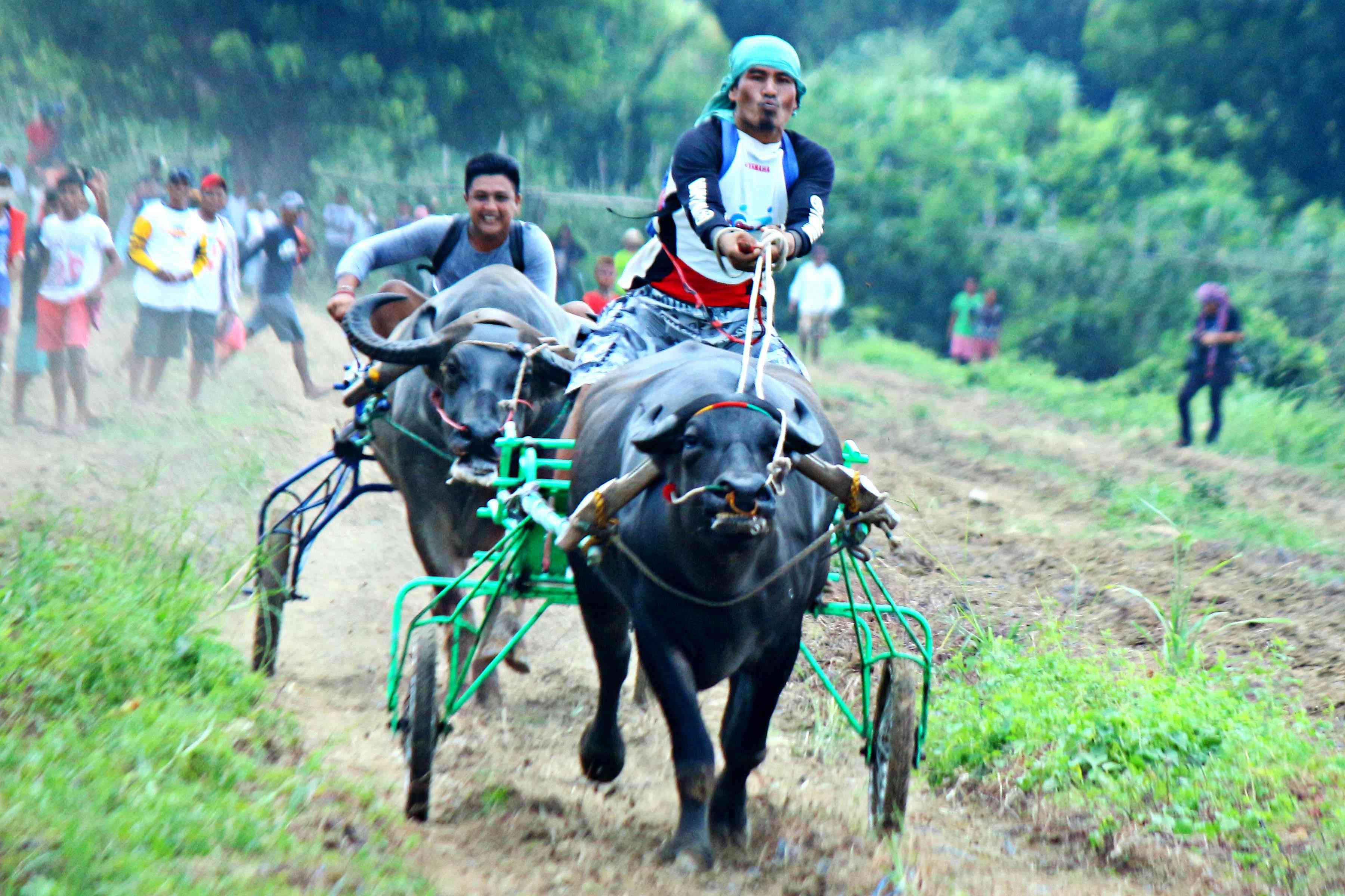 奔跑吧水牛!菲律宾吕宋岛举办赛牛节