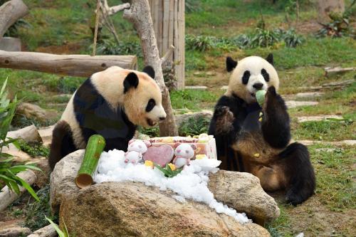 """澳门媒体:大熊猫""""健健、康康""""3岁啦!"""