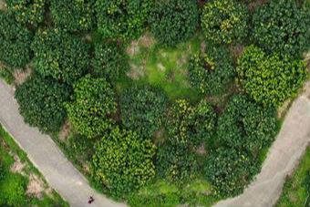 广西钦州:荔枝种植 助力脱贫