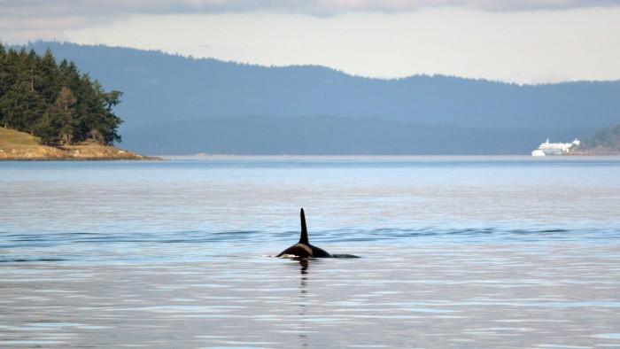 智能红外摄像头系统将可能帮助船只躲避与虎鲸的碰撞