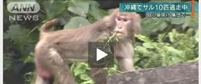 日本动物园猴子拿钥匙开门逃跑