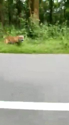 """惊险!印度男子骑摩托车突遭老虎追赶后""""脱险"""",网友调侃:全靠车技"""