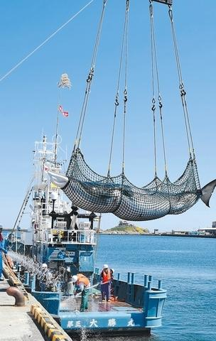 日本时隔31年重启商业捕鲸 今年限额为227头