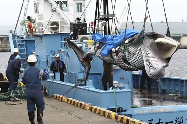 日本重启商业捕鲸 捕鲸船捕获小须鲸带回码头