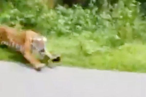 印度森林官员骑车遇猛虎追击 及时变向躲过一劫