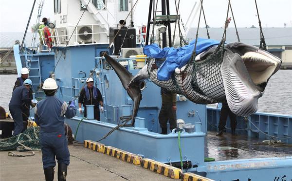 """日本重启商业捕鲸首日:捕获两条小须鲸,""""还够捕捞"""